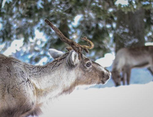 Urgent Action for the Val-d'Or Woodland Caribou