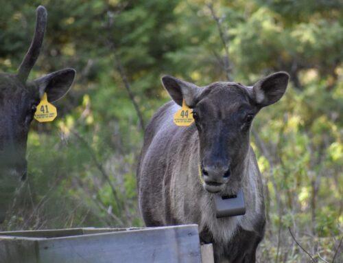 5 solutions pour sauver le caribou forestier