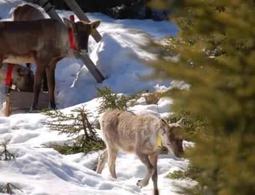 Plus de loups et d'orignaux, moins de caribous sur la Côte-Nord d'ici 2100