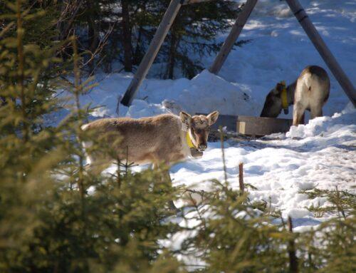 Fermeture de chemins dans l'habitat du caribou de Val-d'Or : « trop peu trop tard », selon Lac-Simon