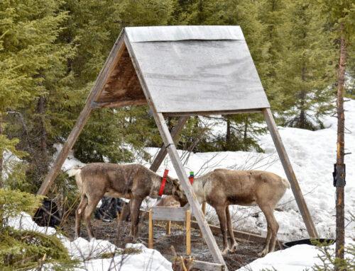Il y a un an, les caribous de Val-d'Or étaient placés en enclos