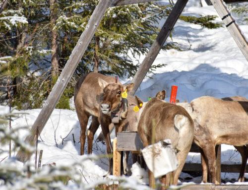 Le ministère des Forêts promet une stratégie pour les caribous cette année