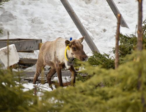 Protection du caribou : la nature même du ministère fait défaut, selon SNAP Québec