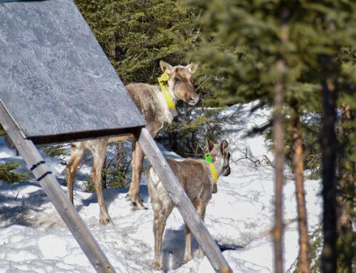 A newborn in the Val-d'Or caribou herd