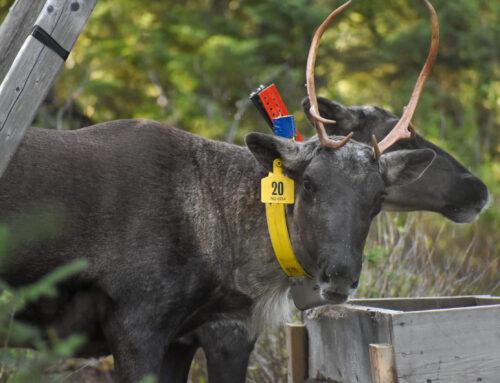 Québec lance le projet de mise en captivité des caribous de deux parcs nationaux