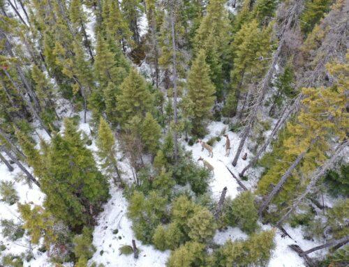 La tordeuse des bourgeons de l'épinette a un effet ricochet sur le caribou forestier